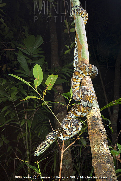 Darwin carpet python (Morelia spilota variegata), adult in monsoon vine thicket habitat, Batchelor, Northern Territory, Australia, November.