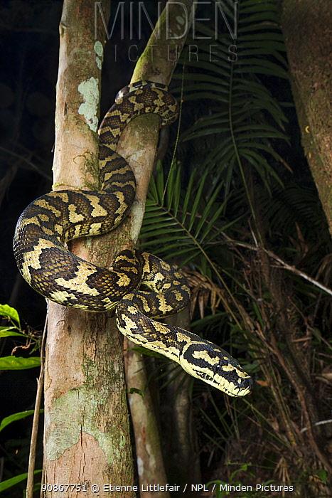 Carpet python (Morelia spilota), a large heavyset adult waiting to ambush passing mammalian prey items, high elevation rainforest near Cairns, Queensland, Australia. April.