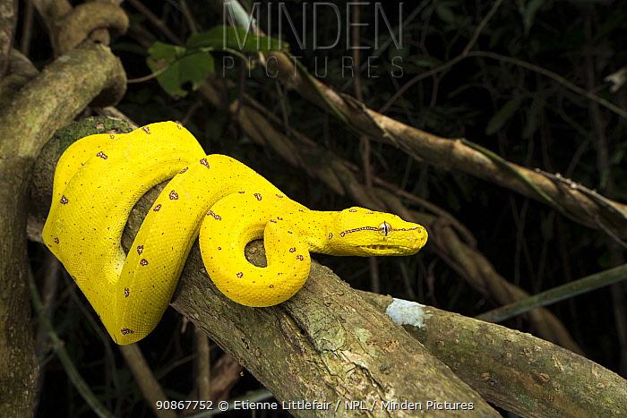 Green tree python (Morelia viridis), juvenile, Lockhart River area, north Queensland, Australia, November.