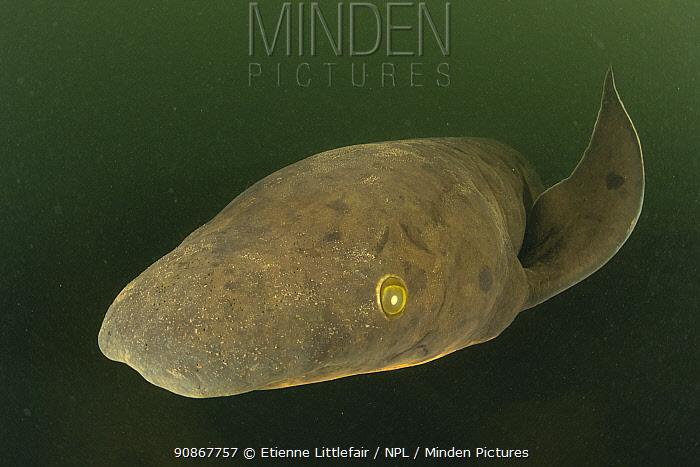 Queensland lungfish (Neoceratodus forsteri), Mary River, Queensland, Australia, July.