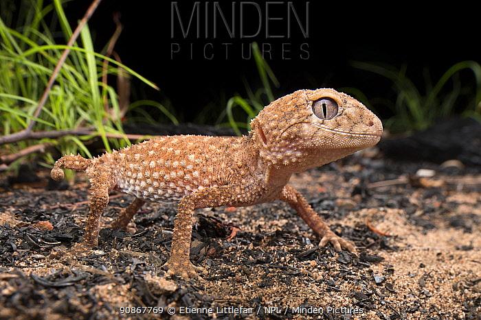 Northern knob-tailed gecko (Nephrurus sheai) in a recently burnt area near Timber Creek, Northern Territory, Australia, December.