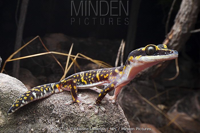 Marbled velvet gecko(Oedura marmorata), Batchelor, Northern Territory, Australia, October.