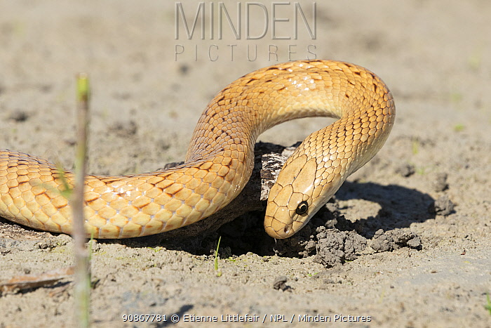 Speckled brown snake (Pseudechis guttata) searching soil cracks for small frogs, Barkly Tablelands, Northern Territory, Australia, April.