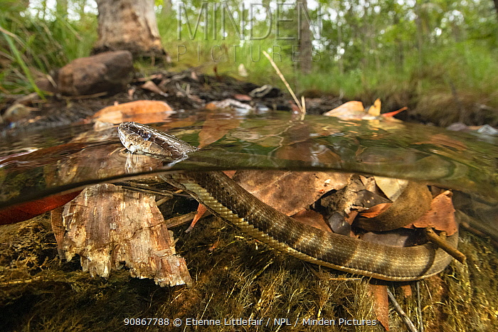 Macleay's water snake (Pseudoferania polylepis) surfacing for air in a shallow creek off Adelaide River, Northern Territory, Australia, May.
