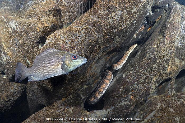 Butler's grunter fish (Syncomistes butleri) and Arafura file snake (Acrochordus arafurae), fish exhibiting mobbing behaviour, Arnhem escarpment creek, Northern Territory, Australia, July.