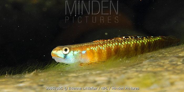 Golden-red Stiphodon (Stiphodon rutilaureus) male fish at rest, Daintree region, north Queensland, Australia, September.