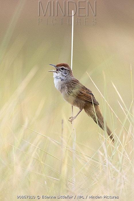 Spinifexbird (Megalurus carteri), male calling, Tennant Creek, Northern Territory, Australia. November.