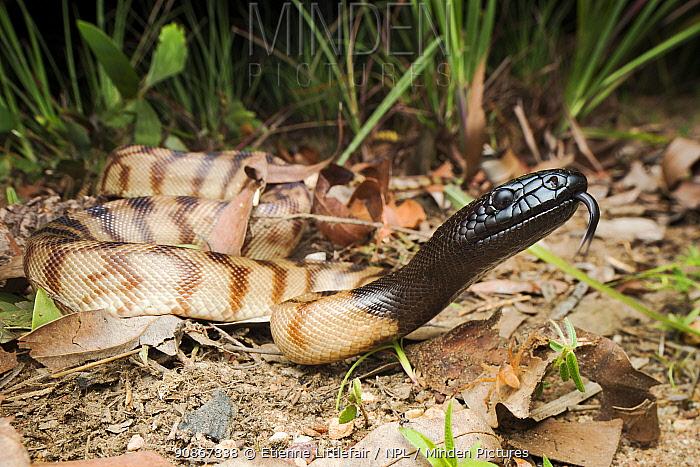 Black-headed python (Aspidites melanocephalus), Batchelor, Northern Territory, Australia, October.
