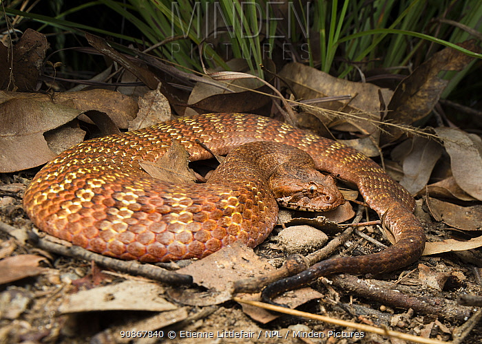 Rough-scaled death adder (Acanthophis rugosus), slightly inflated to show bright defensive colours hidden between scales, Batchleor, Northern Territory, Australia, November.