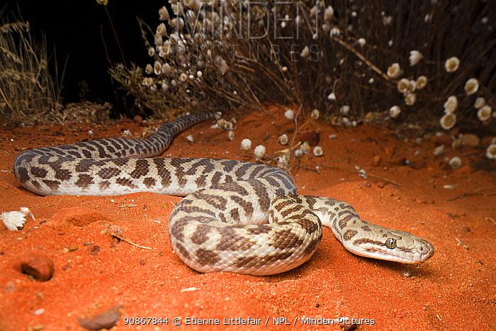 Stimson's python (Antaresia stimsoni), Mt. Connor area, Northern Territory, Australia, November.