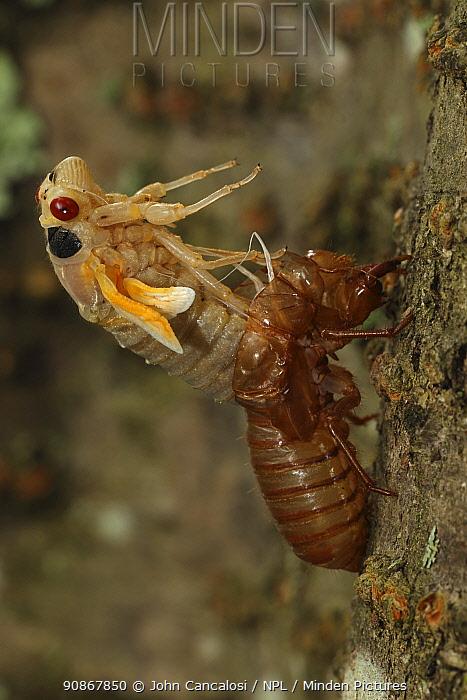 Periodical cicada (Magicicada septendecim) 17-year periodical cicada. Larva molting with teneral adult emerging. Brood X cicada, Maryland, USA, June 2021 Sequence 6 of 12