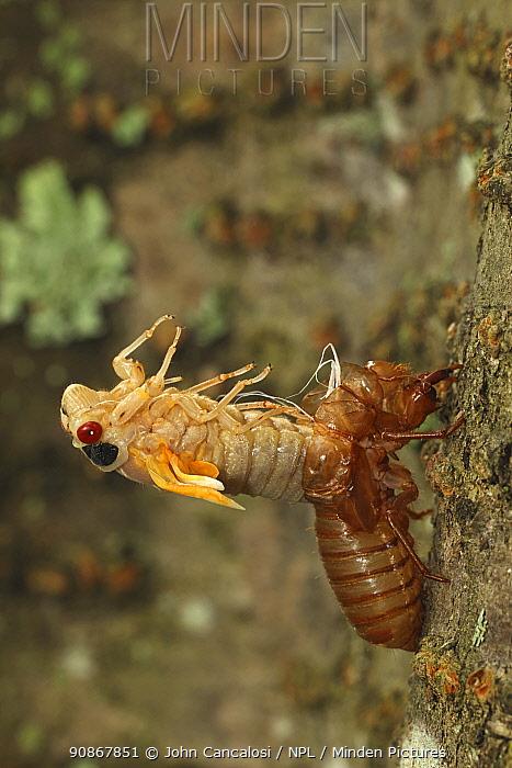 Periodical cicada (Magicicada septendecim) 17-year periodical cicada. Larva molting with teneral adult emerging. Brood X cicada, Maryland, USA, June 2021 Sequence 7 of 12
