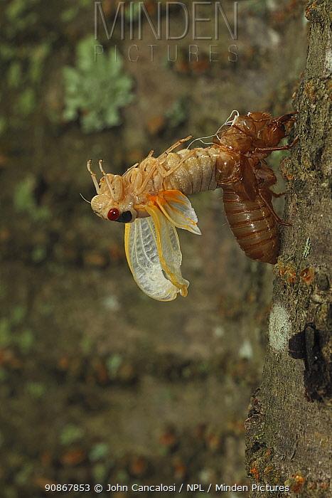 Periodical cicada (Magicicada septendecim) 17-year periodical cicada. Larva molting with teneral adult emerging. Brood X cicada, Maryland, USA, June 2021 Sequence 9 of 12