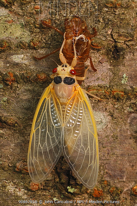 17 year Periodical cicada (Magicicada septendecim) teneral adult Brood X cicada, shortly after molting, Maryland, USA, June 2021 Sequence 12 of 12