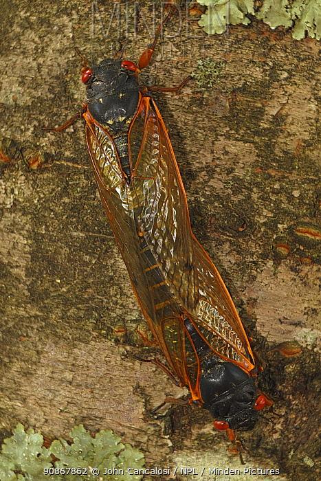 17 year Periodical cicada (Magicicada septendecim) adults mating. Brood X cicada. Maryland, USA, June 2021