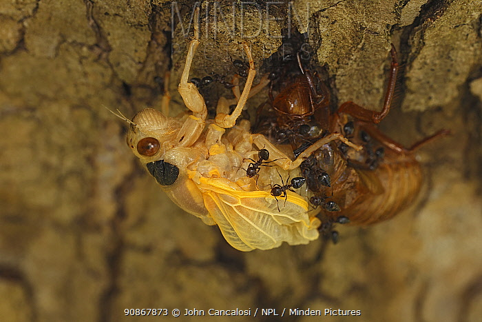 17 year Periodical cicada (Magicicada septendecim) teneral adult Brood X cicada, molting, being attacked and eventually consumed by ants, Maryland, USA, June 2021