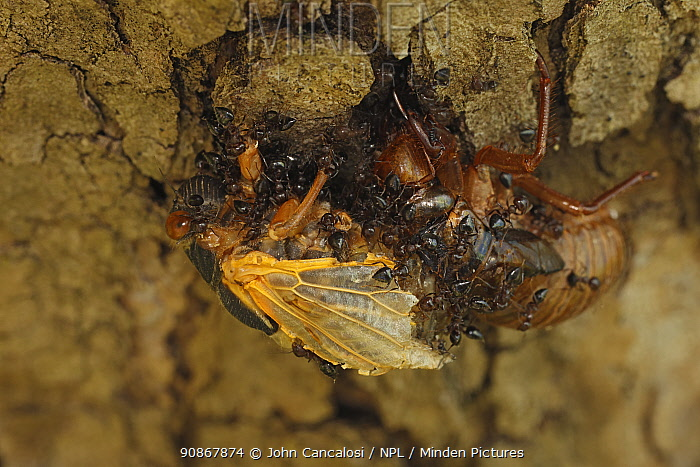17 year Periodical cicada (Magicicada septendecim) teneral adult Brood X cicada, molting, attacked by ants, Maryland, USA, June 2021