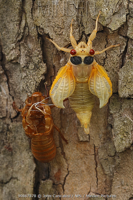 17 year Periodical cicada (Magicicada septendecim) teneral adult Brood X cicada, shortly after molting, Maryland, USA, June 2021