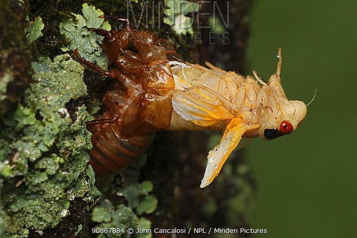 Periodical cicada (Magicicada septendecim) 17-year periodical cicada. Larva molting with teneral adult emerging. Brood X cicada, Maryland, USA, June 2021