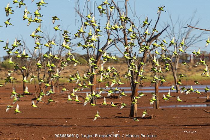 Flock of Budgerigars (Melopsittacus undulatus) in flight by outback dam, Northern Territory, Australia.