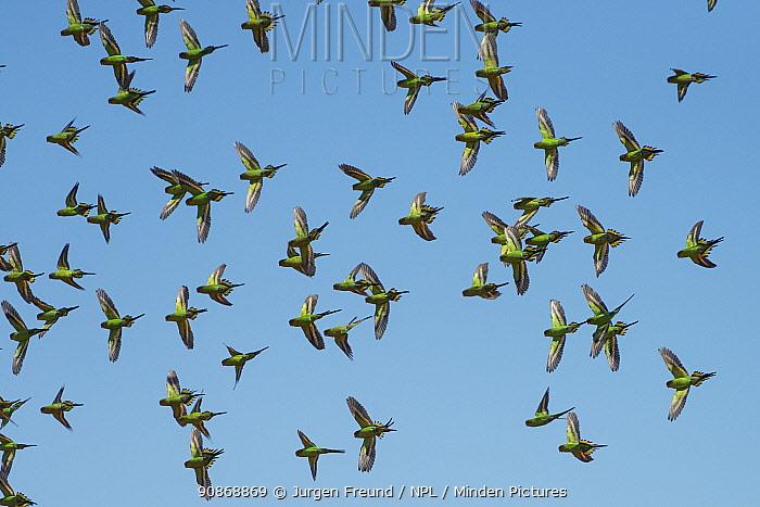 Flock of Budgerigars (Melopsittacus undulatus) in flight, Northern Territory, Australia.