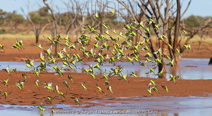 Flock of Budgerigars (Melopsittacus undulatus ) drinking in an outback dam, Northern Territory, Australia.