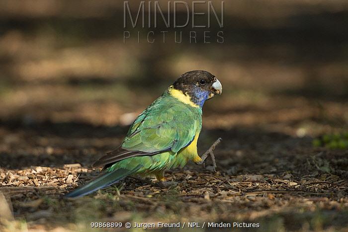 Australian ringneck parrot (Barnardius zonarius) walking along the ground, Alice Springs, Northern Territory, Australia.