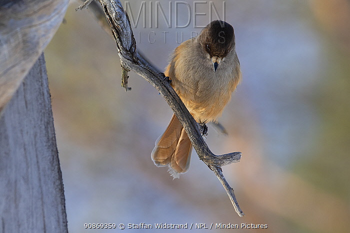 Siberian jay (Perisoreus infaustus) Pasvik National Park, Finnmark, Arctic Norway