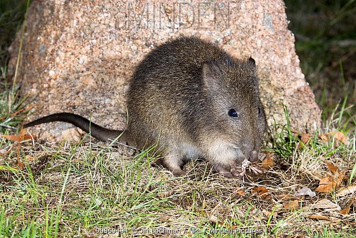 Long-nosed potoroo (Potorous tridactylus), at translocation site, Mount Rothwell Reserve, Victoria, Australia.