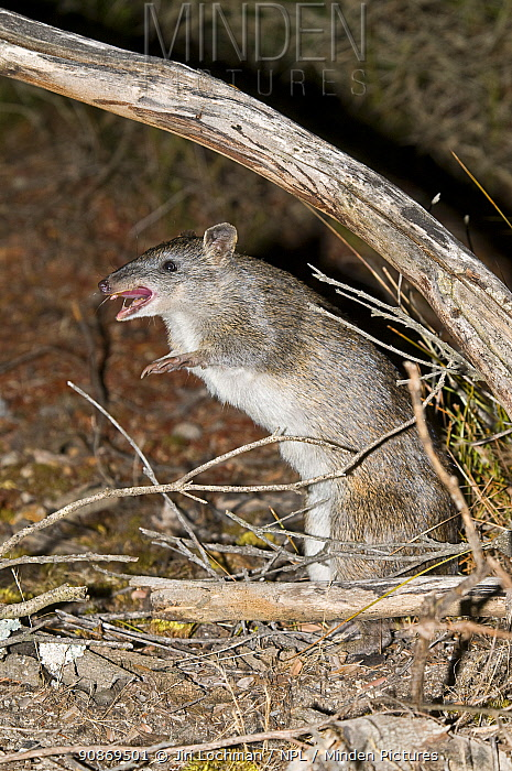 Southern brown bandicoot or Quenda (Isoodon obesulus fusciventer) hissing either to show its displeasure, or to warn others of the danger, Waychinicup National Park, Western Australia.