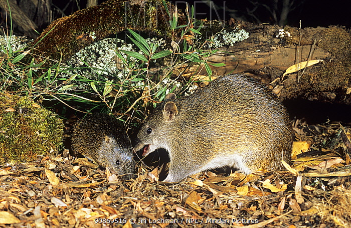 Southern brown bandicoot or Quenda (Isoodon obesulus fusciventer) feeding, Waychinicup National Park, Western Australia.