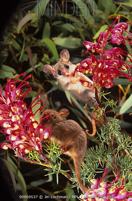 Western Pygmy-possum (Cercartetus concinnus) feeding on flowers of a Grevillea (Grevillea georgeana), Helena Aurora Range proposed National Park, Australia.