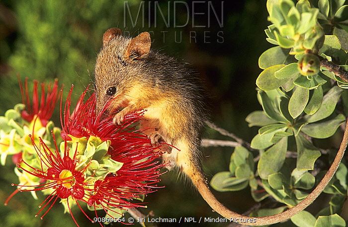 Honey possum (Tarsipes rostratus), feeding on the nectar of Granite Kunzea (Kunzea pulchella), at night, Mount Gibbs Nature Reserve, Western Australia.