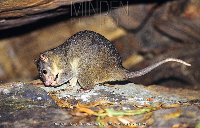 Scaly-tailed possum (Wyulda squamicaudata), Mitchell River National Park, Victoria, Australia.