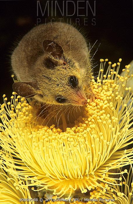 Western Pygmy-possum (Cercartetus concinnus) feeding on pollen of Large-fruited Mallee (Eucalyptus youngiana), Great Victoria Desert, Australia.