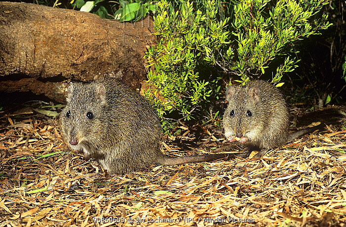 Gilbert's potoroo (Potorous gilberti) female with joey, Two Peoples Bay Nature Reserve, Western Australia. Critically endangered species.