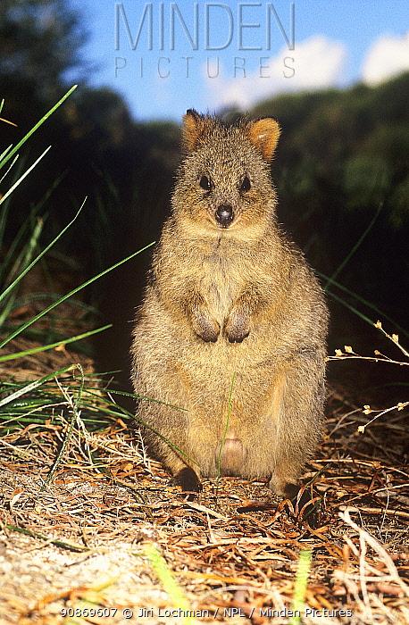 Quokka (Setonix brachyurus), on Rottnest Island, Western Australia, Australia.