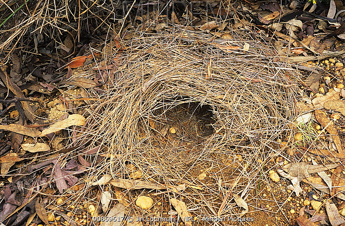 Brush-tailed bettong or Woylie (Bettongia penicillata) detail of the nest, Wheatbelt Region, Western Australia. Critically endangered species.