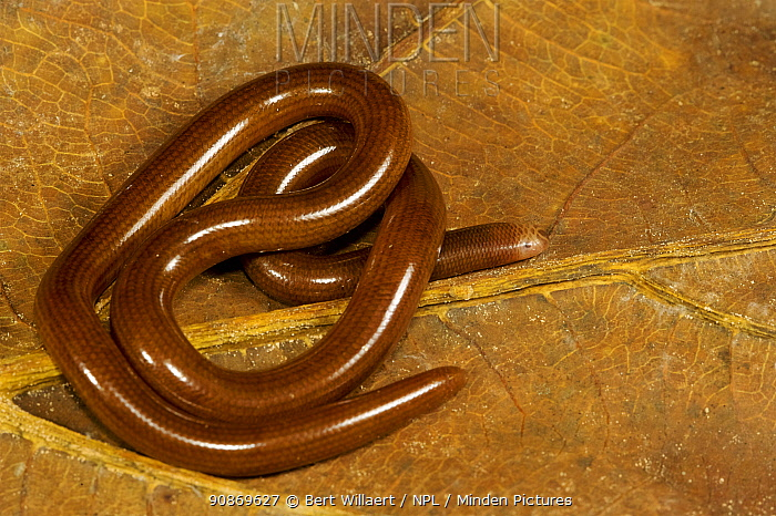 Blind snake (Ramphotyphlops depressus), Willaumez Peninsula, New Britain, Papua New Guinea, December