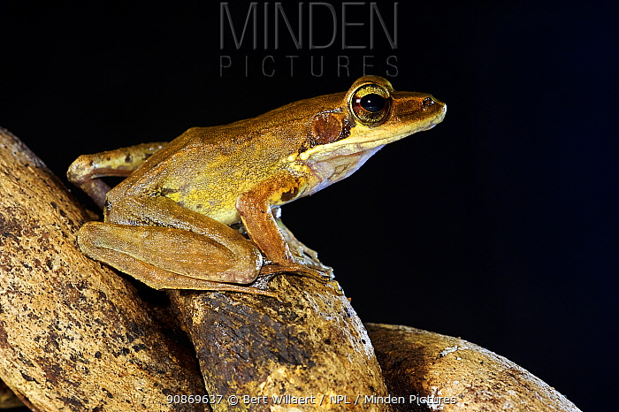 Wood frog (Papurana daemeli / Rana daemeli), Willaumez Peninsula, New Britain, Papua New Guinea, December