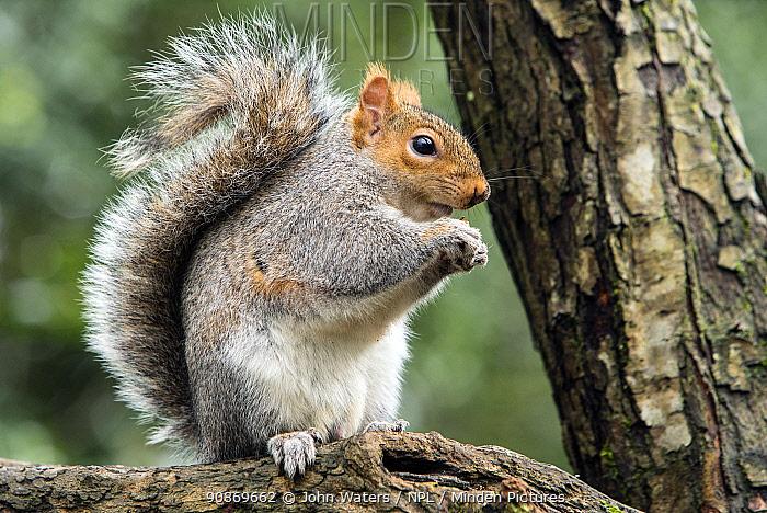 Grey squirrel (Sciurus carolinensis) feeding pose, on branch, woodland setting, Bristol, UK. February.