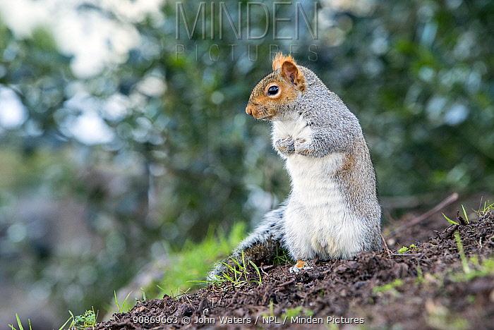 Grey squirrel (Sciurus carolinensis) urban park, Bristol, UK. February.