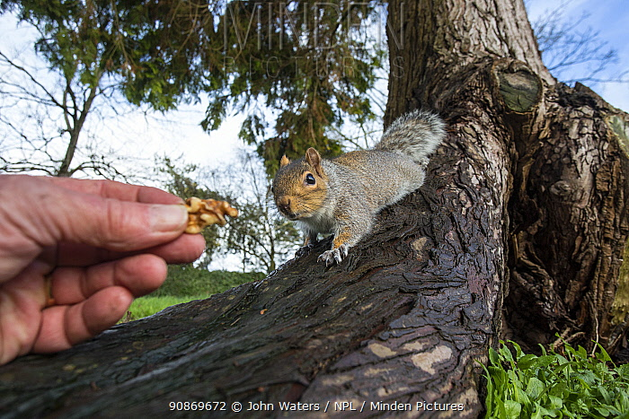 Grey squirrel (Sciurus carolinensis) approaching human hand as it is offered nut, urban park, Bristol, UK. January.