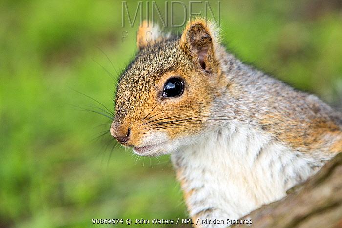 Grey squirrel (Sciurus carolinensis) portrait, urban park, Bristol, UK. March.