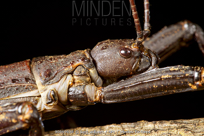Portrait of a thorny devil stick insect (Eurycantha calcarata), Willaumez Peninsula, New Britain, Papua New Guinea, December