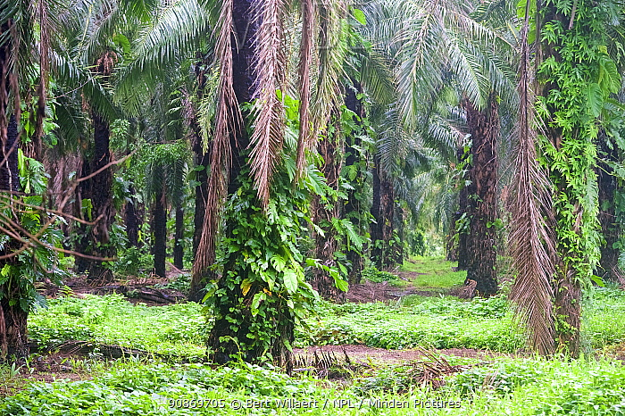Palm oil plantation, Willaumez Peninsula, New Britain, Papua New Guinea, December