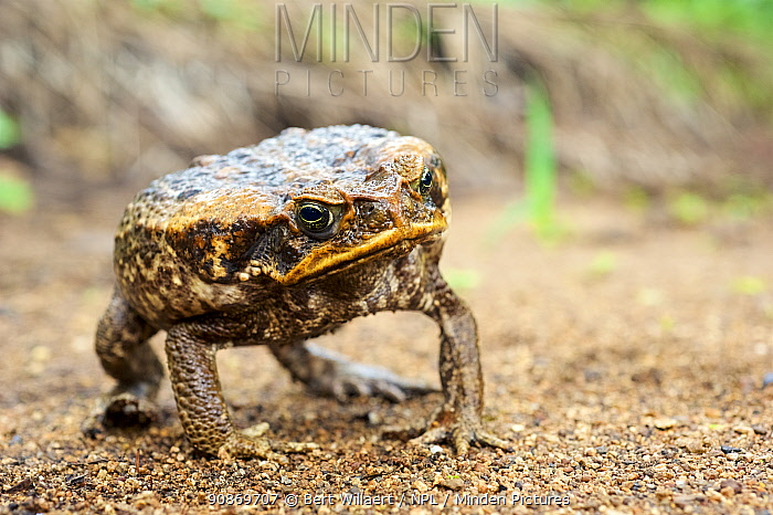 Cane toad (Rhinella / Bufo marinus) inflating its body in a defensive posture, Invasive species, Willaumez Peninsula, New Britain, Papua New Guinea, December