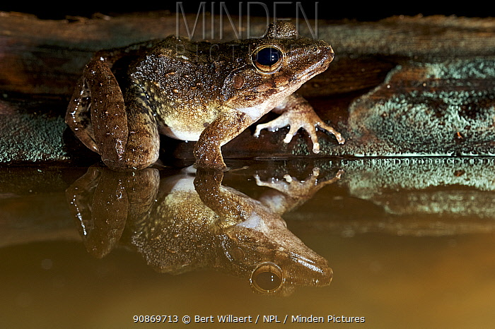 Giant webbed frog (Cornufer guppyi / Discodeles guppyi), Willaumez Peninsula, New Britain, Papua New Guinea, December