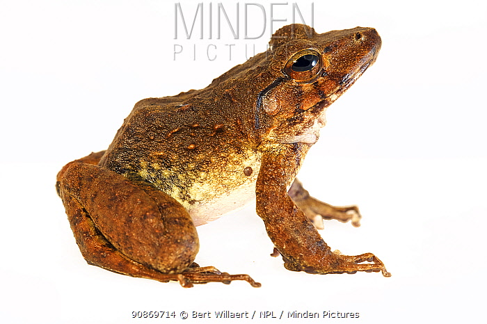 Giant webbed frog (Cornufer guppyi / Discodeles guppyi) on white background, controlled conditions, Willaumez Peninsula, New Britain, Papua New Guinea, December