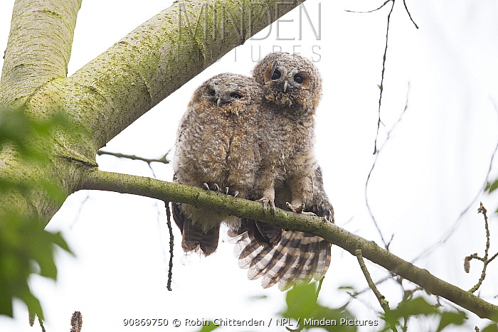 Tawny owl (Strix aluco) fledglings perched on branch, one stretching wing, Norwich, England, UK March.